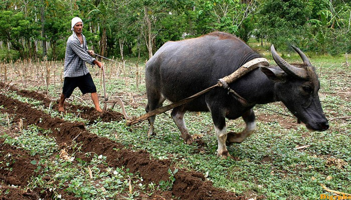 Carabao-in-the-field