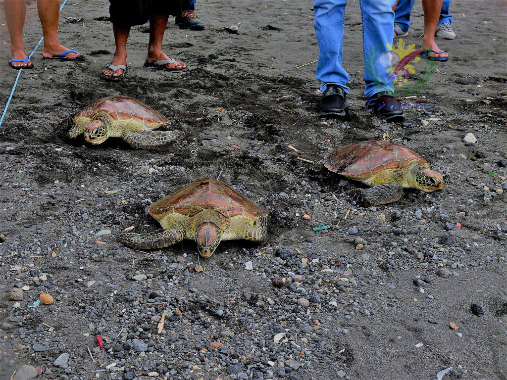 Aguas, Albay Provincial Agriculture Office frees three female green sea turtles, after a retired navy man turned over his pets to coastal ranger
